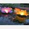 10 lanterne galleggianti grandi a forma di ninfea fiore di loto, per pa piscina, laghetto o anche da appoggiare da terra o in tavola, misto di colori, facile da usare, apri, pieghi, inserisci la candela e le fai galleggiare sull'acqua